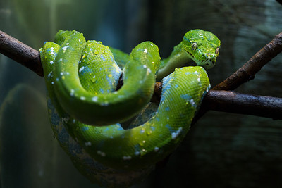 Green Tree Python Chondropython viridis
