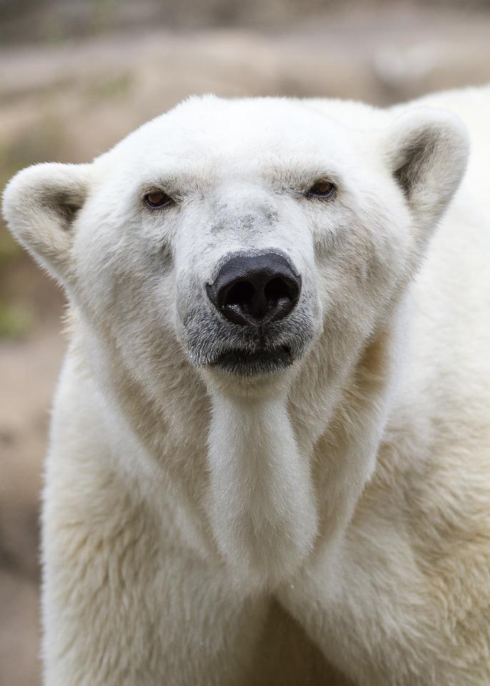 Polar Bear - Aurora