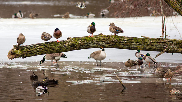 A flock of Mallard Ducks and two Canadian Geese hang out at the Cleveland Metroparks Zoo