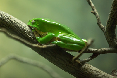Giant Waxy Tree Frog