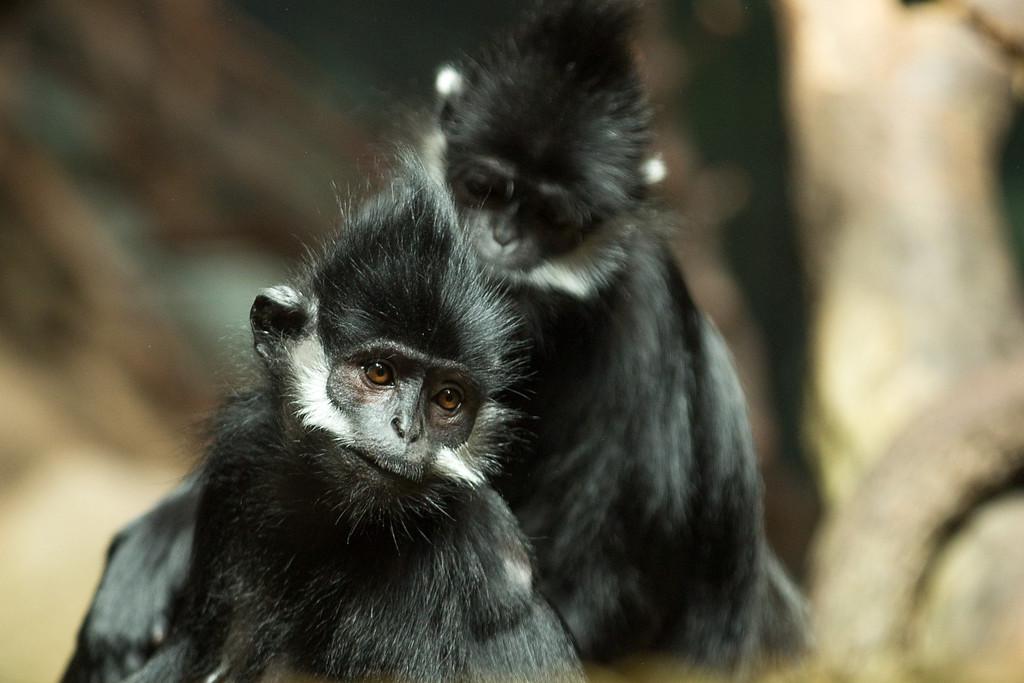 Francois Monkey