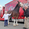 One of the famed Budweiser Clydsdale horses, Sumo, made an appearance at Wyman's Liquor's on Wednesday around noon. The horse's handler Burt Westbrook holds on to his reins as Claire St. Jean, 77, of Leominster pets Sumo during his visit to the store. SENTINEL & ENTERPRISE/JOHN LOVE