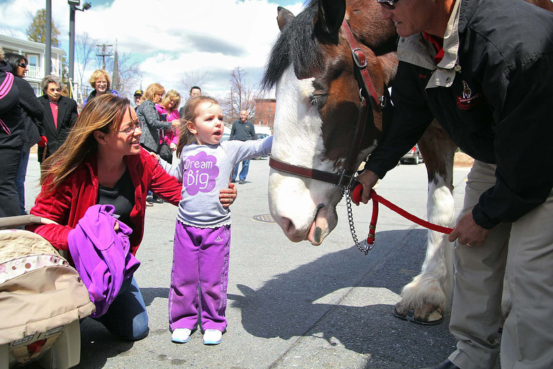 One of the famed Budweiser Clydsdale horses, Sumo, made an appearance at Wyman's Liquor's on Wednesday around noon. The horse's handler Burt Westbrook holds on to his reins as Sherry Palazzi and her daughter Meadow, 3, pet Sumo during his visit to the store. SENTINEL & ENTERPRISE/JOHN LOVE