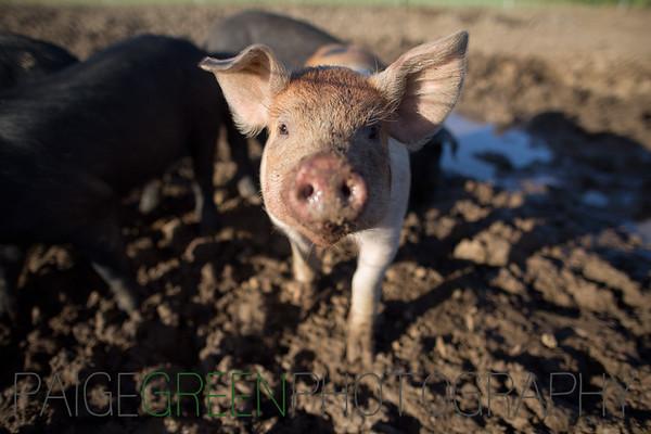 Pigs 3/3/15
