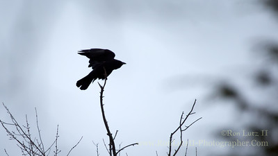 American Crow or Feannag.