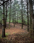 I Took a Walk Through the Pines This Morning After Turning Compost