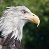 One of the bird trainers was walking around with this Bald Eagle on his arm and let me snap a bunch of pictures up close and personal! Notice the 80mm focal length.<br /> <br /> I actually wanted to get further back and include more of the bird but my back was to a fence and I still was this far zoomed in. Oh well, I think they came out great!