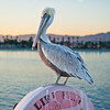 """On our way back from the wharf we noticed this Pelican was standing perfectly still as if it had planned on modeling for me the entire time. It sat there for a long time while all the tourists, obviously including myself, snapped away. It actually let me get pretty close without being bothered. The D700 was able to get some great detail in the Pelican feathers. The one thing I did notice about the D700 though, is that the 70mm end of my 24-70mm lens is no longer """"zoomy"""" enough for some things. I wanted to be able to zoom in even more when I took this photo (since I didn't want to get too close to the Pelican). This is a crop of the original framing."""