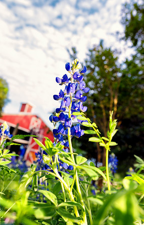 blue bonnet--2