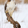 Red-tailed Hawk (Buteo jamaicensis)<br /> Outdoor Discovery Center<br /> Allegan County, MI