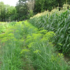 Dill in center; cucumbers on left; sweet corn on right