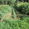 Corn, onion, dill and squash vines compete for space and nutrients in the rich bottomland that is Full Circle Farm. July 23, 2012.