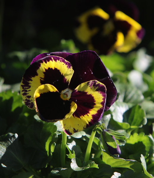 Pansies at Almo's Flower and Garden Center in Dracut. JULIA MALAKIE/LOWELLSUN