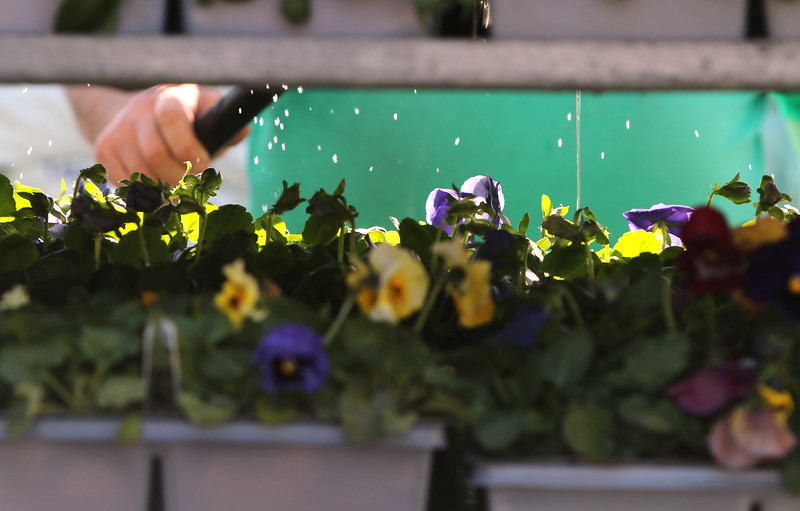 """Andre Daigle of Dracut, owner of Almo's Flower and Garden Center in Dracut, waters flats of pansies, ground covers, and vegetables. He said """"you always see owners water."""" JULIA MALAKIE/LOWELLSUN"""