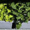 Boston lettuce, left, and Brussels sprouts, just watered, at Almo's Flower and Garden Center in Dracut. JULIA MALAKIE/LOWELLSUN