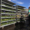 "Andre Daigle of Dracut, owner of Almo's Flower and Garden Center in Dracut, waters flats of pansies, ground covers, and vegetables. He said ""you always see owners water."" JULIA MALAKIE/LOWELLSUN"