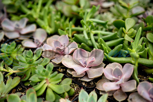 Succulents are for sale at Hand Nurseries in Tyler on Friday, March 20, 2020.