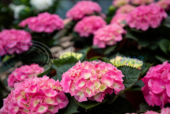 Flowers are for sale at Hand Nurseries in Tyler on Friday, March 20, 2020.