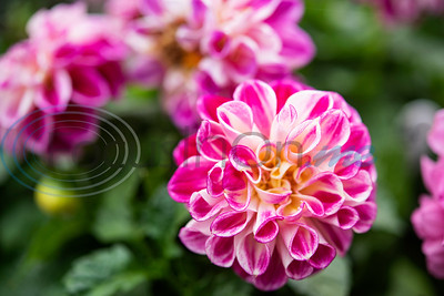 Dahlia flowers are for sale at Hand Nurseries in Tyler on Friday, March 20, 2020.