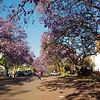 Union Avenue, complete with many blooming Jacaranda trees.