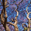 One of Harare's many Jacaranda trees