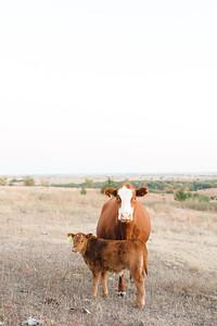 Hudson Cows ~ 10 2015 0021