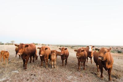 Hudson Cows ~ 10 2015 0005