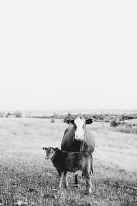 Hudson Cows ~ 10 2015 0022
