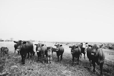 Hudson Cows ~ 10 2015 0006