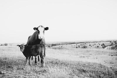 Hudson Cows ~ 10 2015 0024