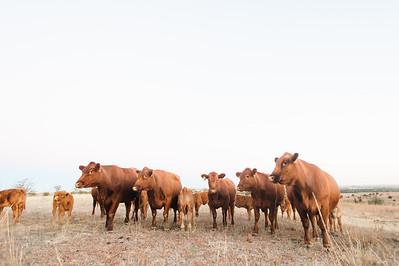 Hudson Cows ~ 10 2015 0007