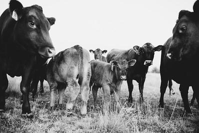 Hudson Cows ~ 10 2015 0015