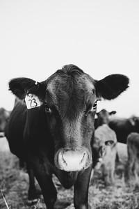 Hudson Cows ~ 10 2015 0013