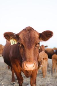 Hudson Cows ~ 10 2015 0012