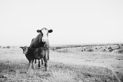 Hudson Cows ~ 10 2015 0026