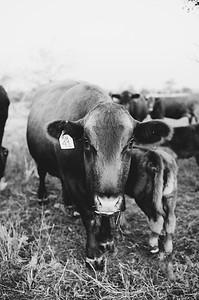 Hudson Cows ~ 10 2015 0019