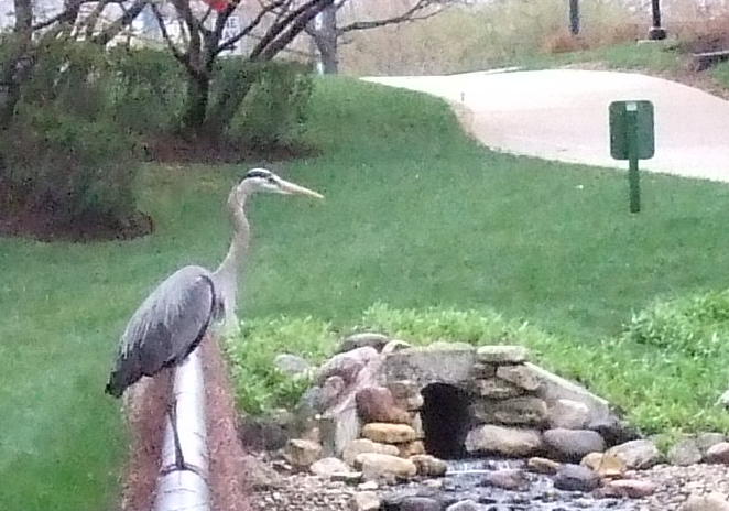 Not a very good picture but here's a Great Blue Heron I saw on my way in to the office, about 7AM.<br>