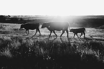 Hudson Cows ~ 10 2015 0099_WEB