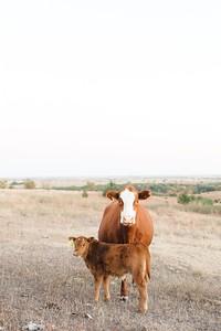 Hudson Cows ~ 10 2015 0021_WEB