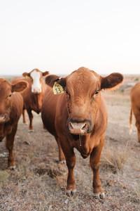Hudson Cows ~ 10 2015 0009_WEB