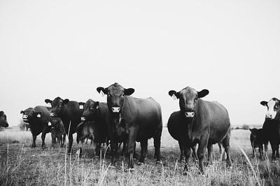 Hudson Cows ~ 10 2015 0004_WEB