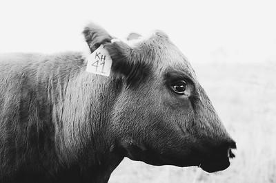 Hudson Cows ~ 10 2015 0078_WEB