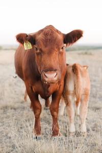 Hudson Cows ~ 10 2015 0049_WEB