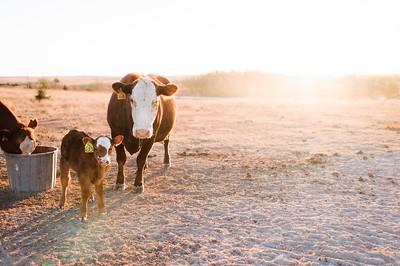 Hudson Cows ~ 10 2015 0104_WEB