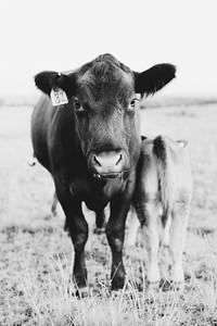 Hudson Cows ~ 10 2015 0050_WEB