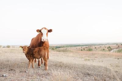 Hudson Cows ~ 10 2015 0025_WEB