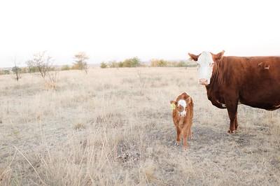 Hudson Cows ~ 10 2015 0047_WEB