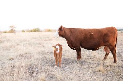 Hudson Cows ~ 10 2015 0048_WEB