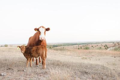 Hudson Cows ~ 10 2015 0023_WEB