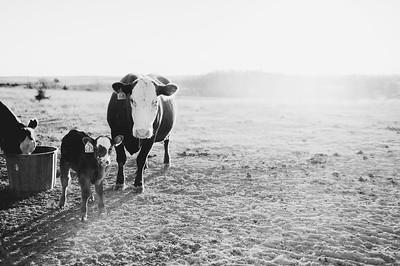 Hudson Cows ~ 10 2015 0105_WEB